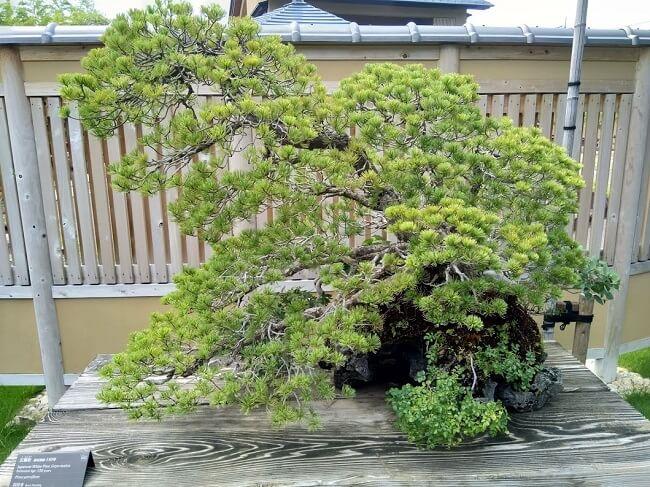 Bonsai stile Fukinagashi