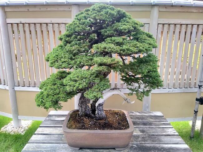 Bonsai stile Moyo-gi