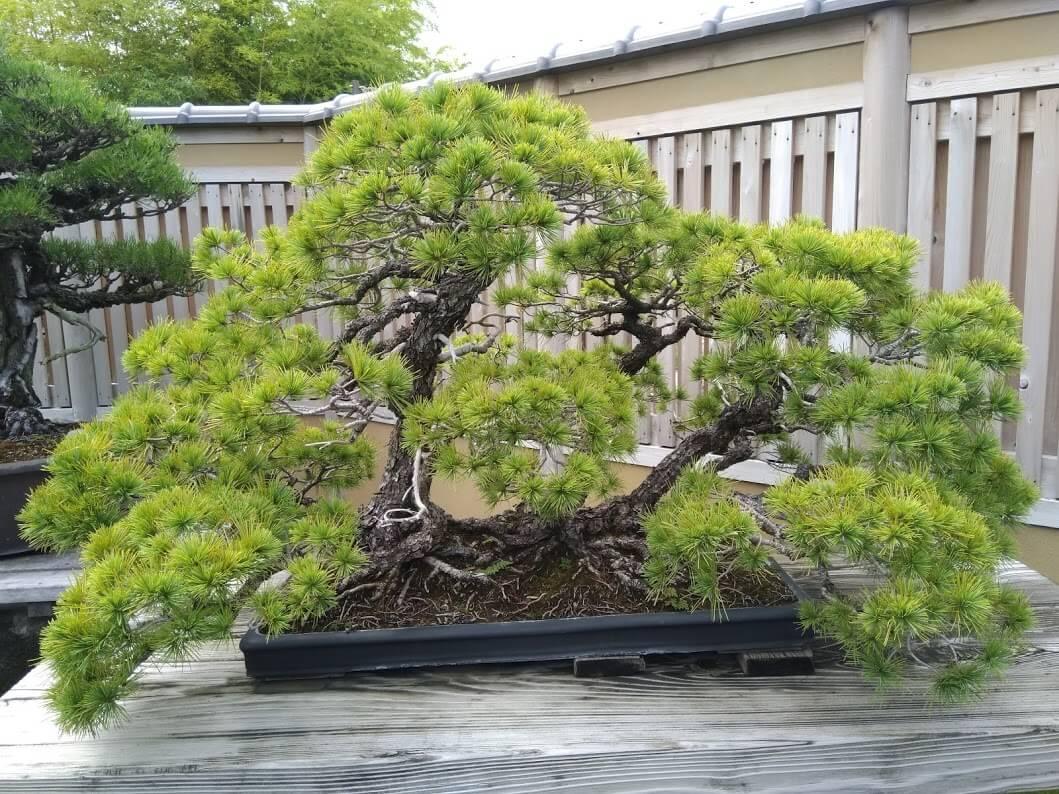 Bonsai stile Ne-tsuranari