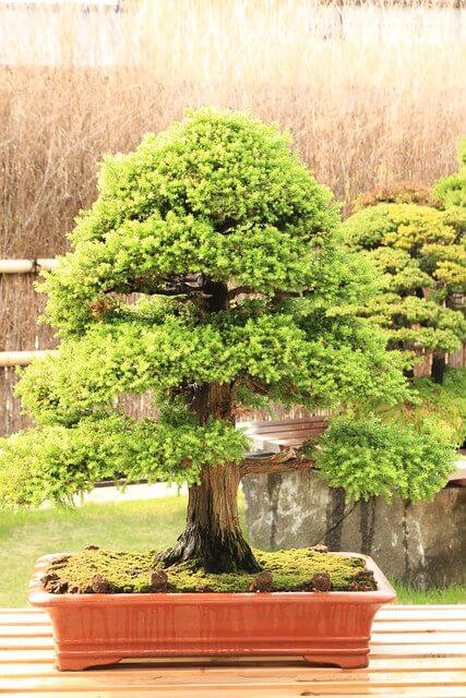 Bonsai stile Chokkan