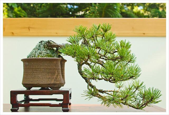 Bonsai stile Kengai