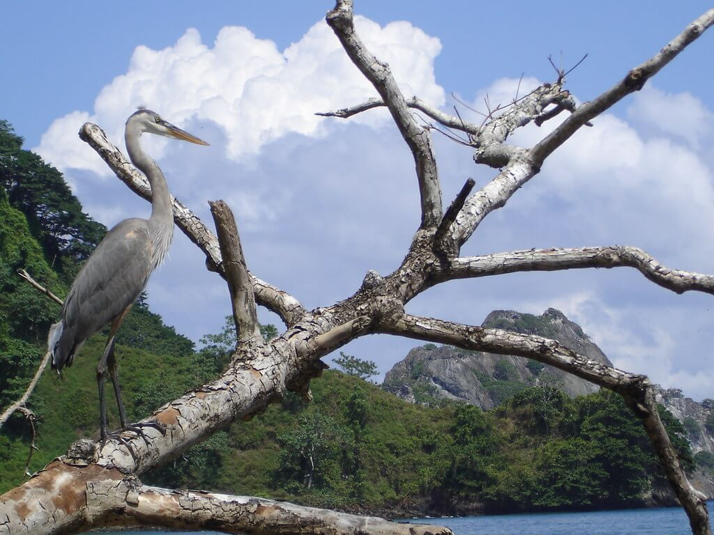 Airone azzurro maggiore a Cocos Island