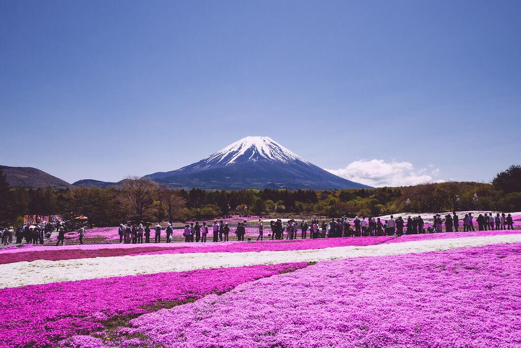 Il muschio rosa del Fuji Shiba-sakura Festival