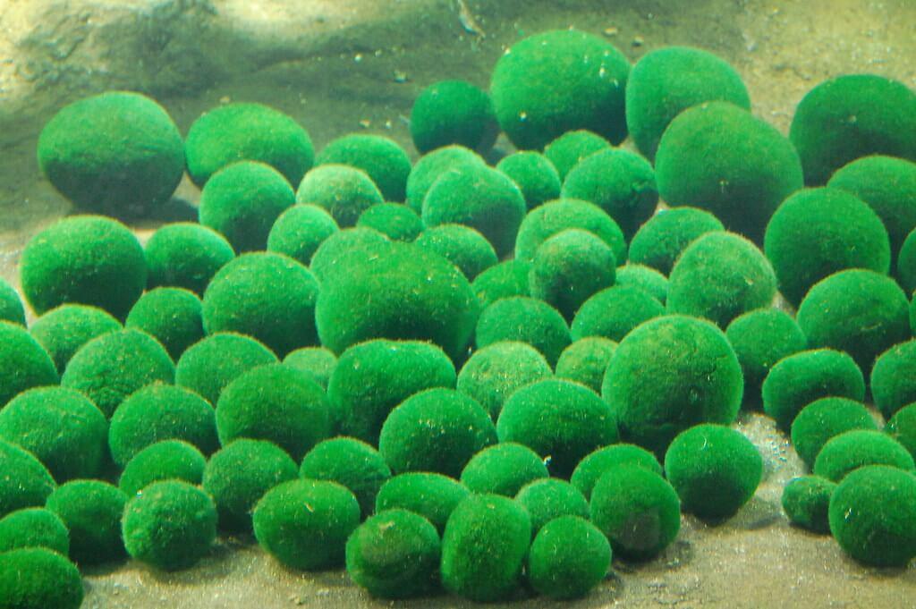 Marimo, le alghe del lago Akan che hanno ispirato i creatori del personaggio Marimokkori
