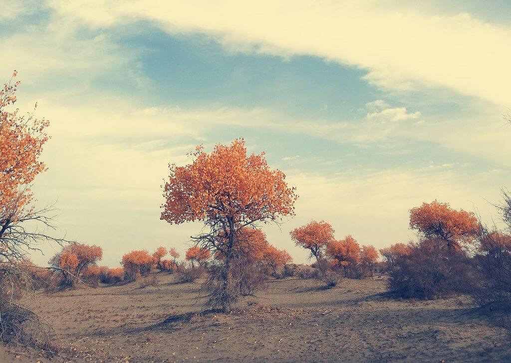 Pioppi del deserto del Taklamakan