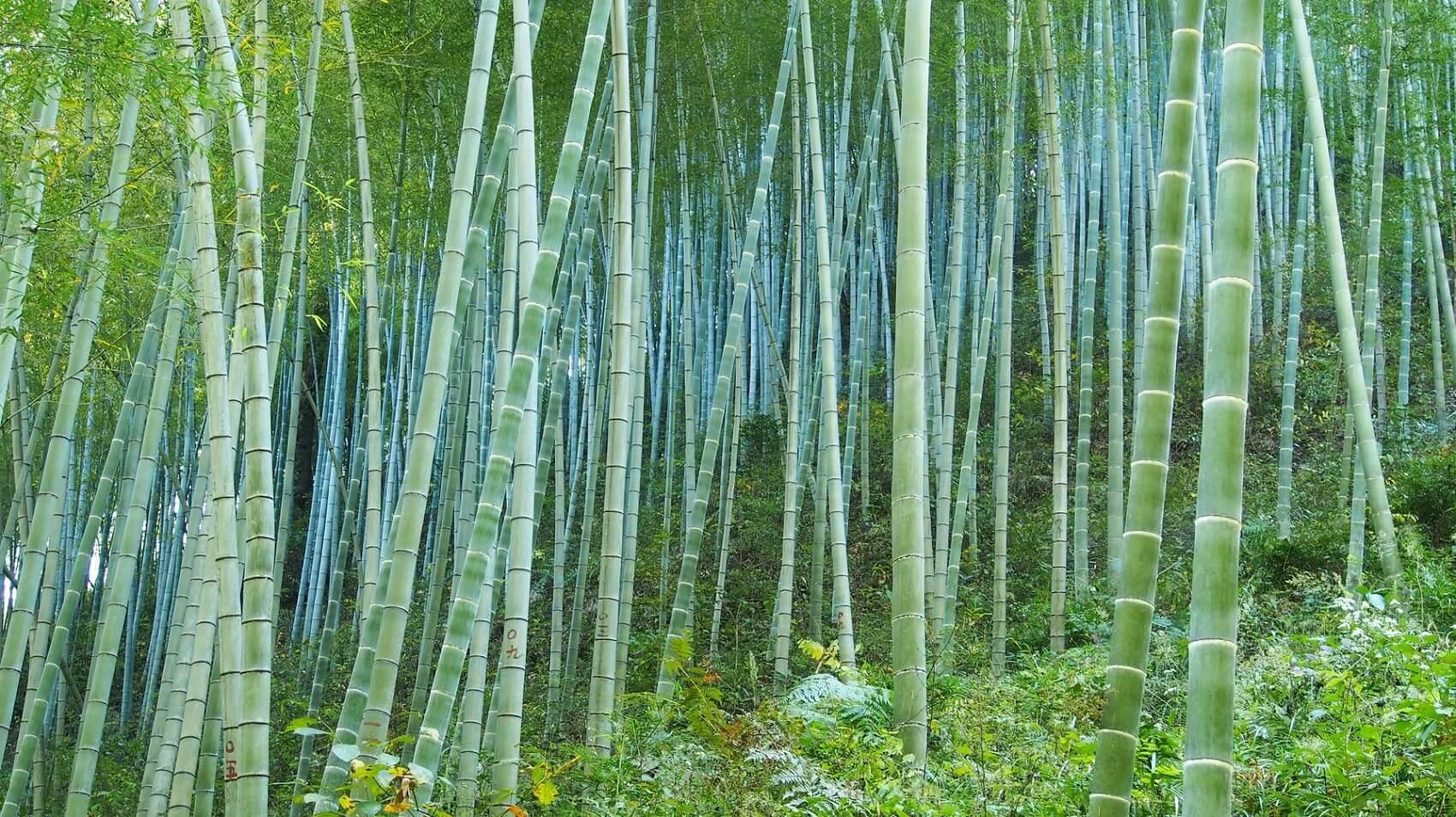 Foreste di bambù nel mondo