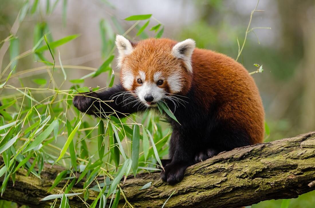 Il panda minore (panda rosso) mentre si nutre di bambù