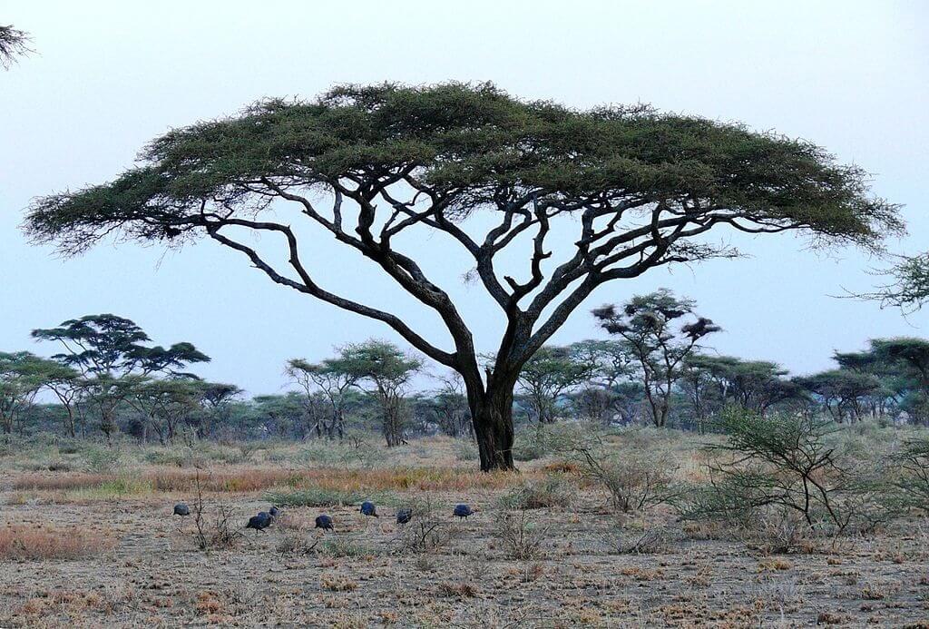 Un esemplare di Acacia tortilis, con la sua caratteristica chioma a ombrello