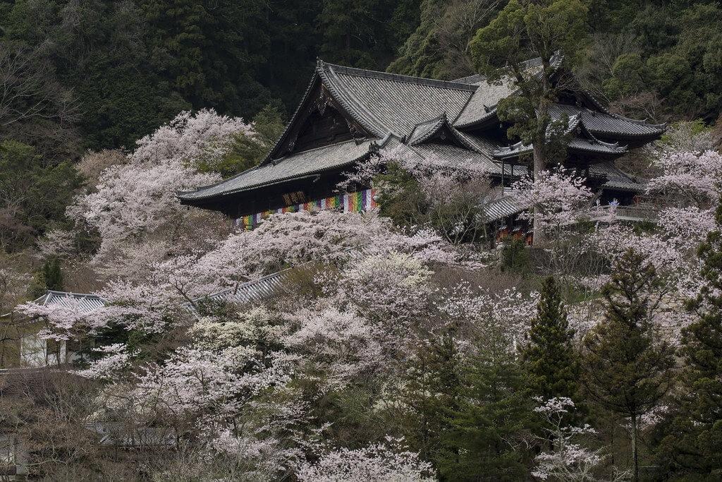 Il tempio Hase-dera (Kamakura) in primavera, tra i ciliegi fioriti
