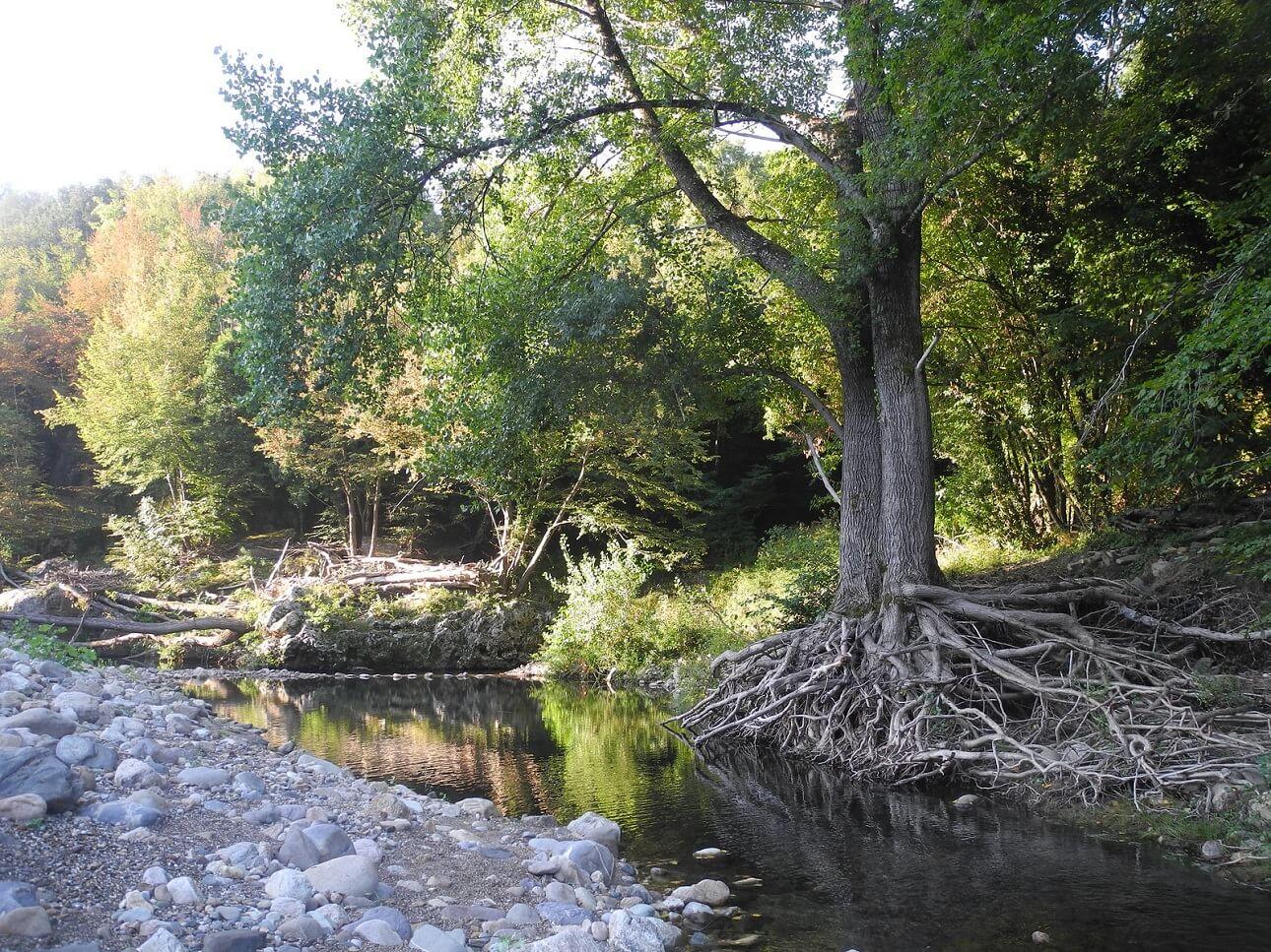 Le imponenti radici di un albero che affiorano lungo il fiume Farma