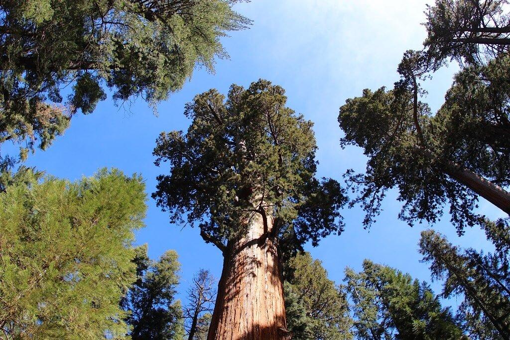Il Generale Sherman è il più grande (voluminoso) albero al mondo, ma non il più alto