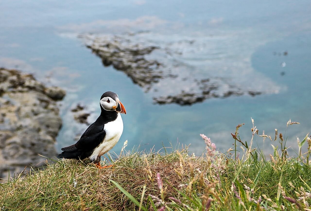 Una pulcinella di mare (puffin) sull'isola di Staffa