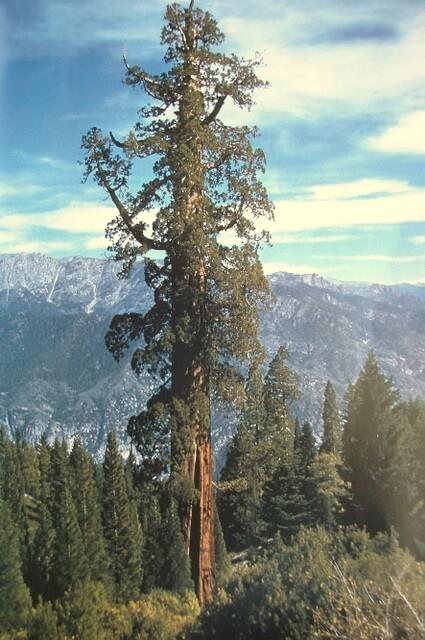 La sequoia The Boole un tempo era considerata l'albero più grande del mondo