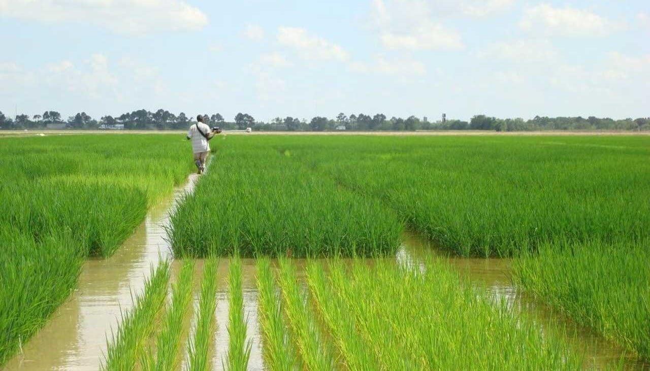 Campo di riso nel Punjab (Pakistan), coltivato nella stagione kharif grazie all'irrigazione