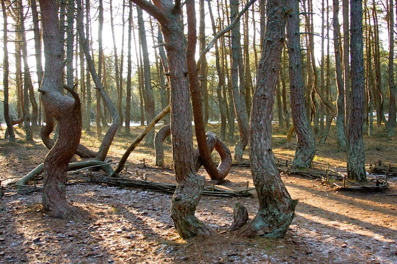 Pini della foresta danzante nella penisola di Neringa (oblast' di Kaliningrad)