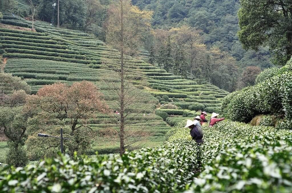 Piantagioni di tè nei pressi del Longjing tea village (Hangzhou)