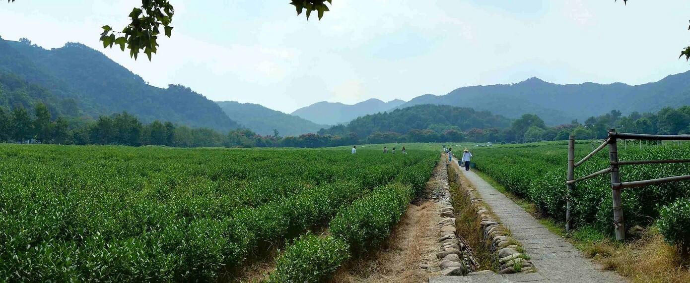 Museo nazionale del tè, piantagioni dell'area museale. Hangzhou, Cina