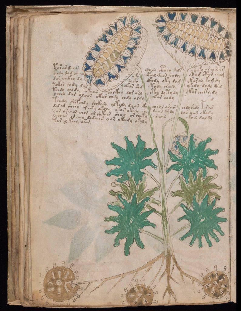 """Manoscritto Voynich foglio 33v, il cosiddetto """"Girasole"""""""