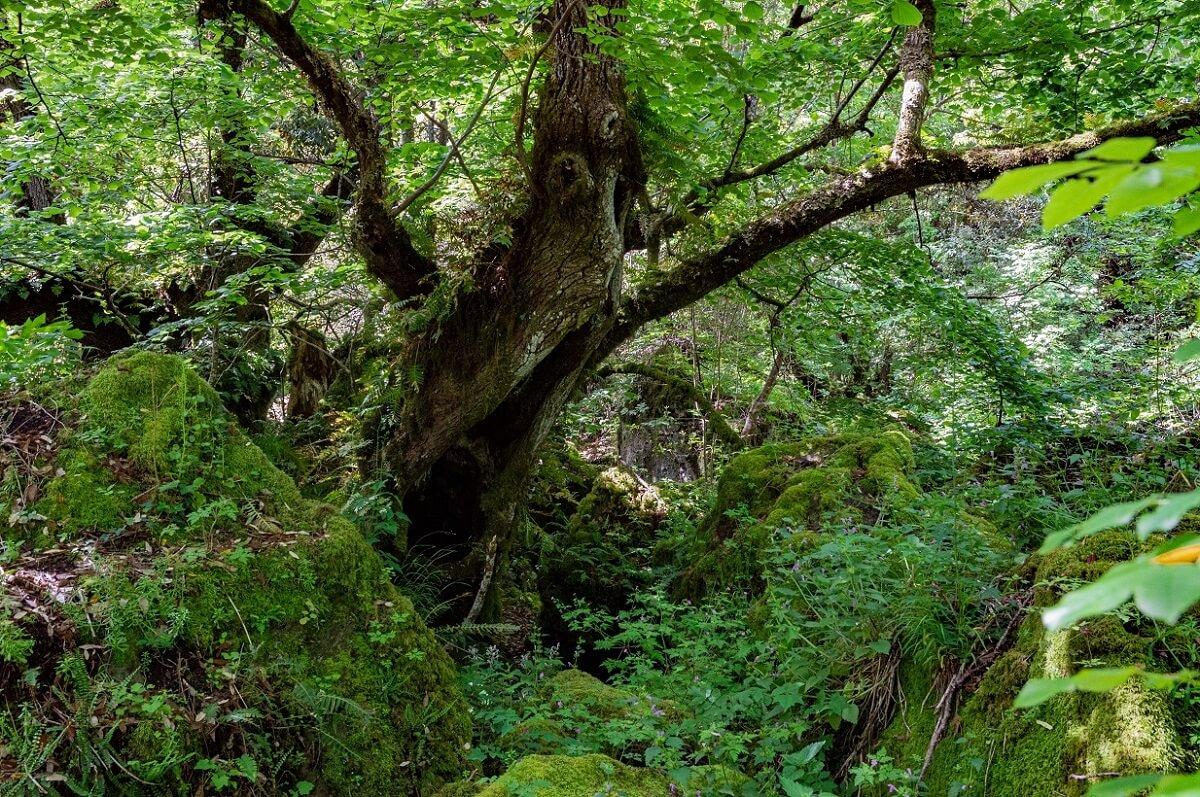 Albero secolare, dalla strana forma, nel bosco del Sasseto