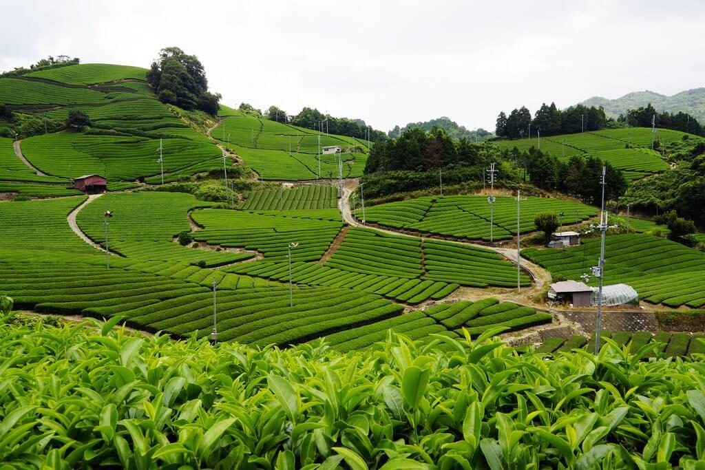 Wazuka, il piccolo paese del Giappone in cui si coltiva il pregiato tè di Uji